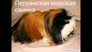 Породы морских свинок🐹 Breeds of guinea pigs