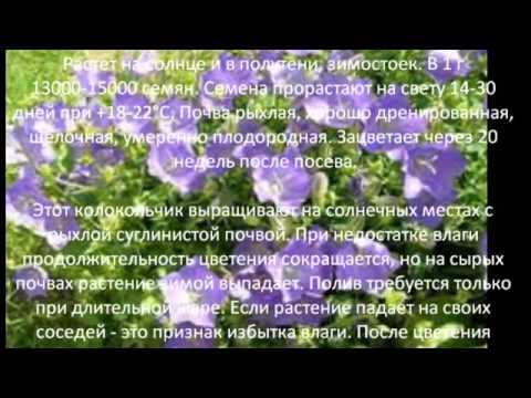 Многолетние цветы для сада Колокольчик Карпатский