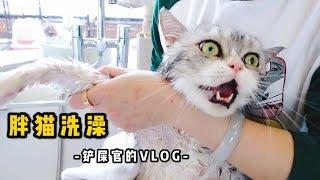 【李喜貓】胖猫害怕洗澡,全程骂街并逃跑四次,女主人:又不是杀了吃肉至于吗! thumbnail