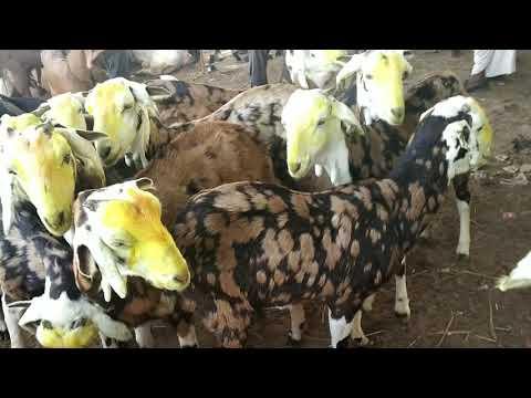 Gujri Goats Price | Balaheri Goat Market update 25 February 2019