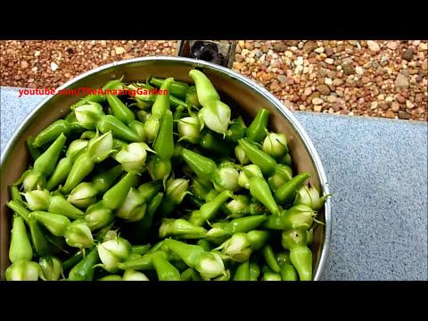 Clove bean harvesting