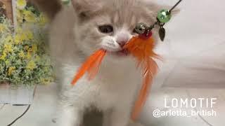 Веселый котёнок. Британский котёнок, 2 месяца
