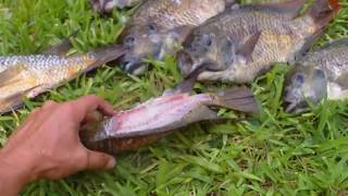 Three kinds of Tilapia (catching cleaning cooking eating)
