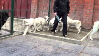 Щенки алабая, среднеазиатской овчарки www.r-risk.ru +79262205603