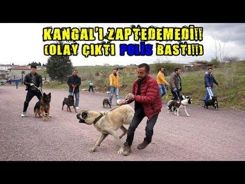 10 KÖPEK BİR ARAYA GELİNCE İŞLER KIZIŞTI POLİS BASTI!! (Pitbull , Kangal , Rottw