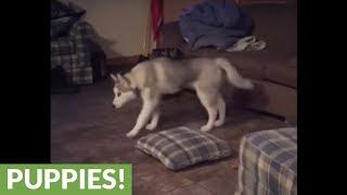 Husky puppy displays uniquely weird stretch