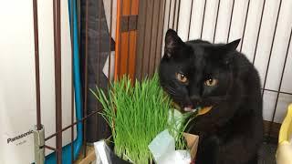 みゃ~みゃ~店長と仲間たち ねこ動画 くろの「草を食べるだけ!」 thumbnail