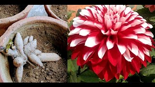 Download Video How to grow dahlia plant from bulb,( with result update) MP3 3GP MP4