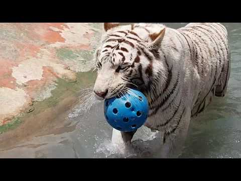 Ball stuck in tigers mouth!