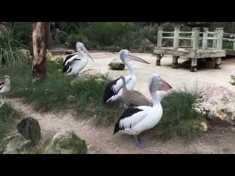 Australian Pelicans at Adelaide Zoo