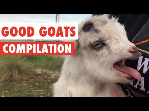 Good Goats Video Compilation 2016