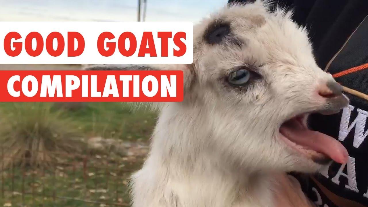 R Goats Good Pets Good Goats Vide...