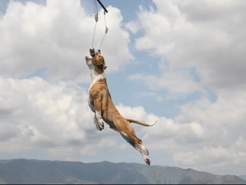 Pit Bull Champion Jumping Dogs - ( Antara - Can Leap Up 4 Metre World Record  )