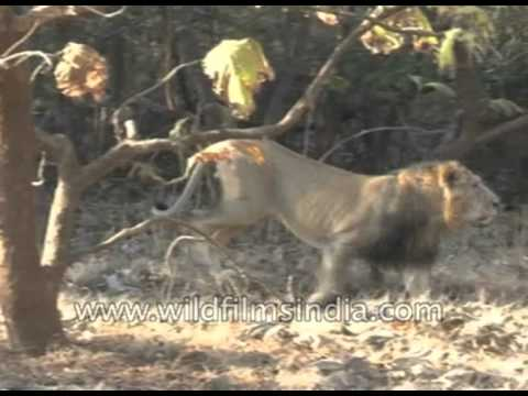 Number of Asiatic lions in Gujarat's Gir sanctuary goes up to 523