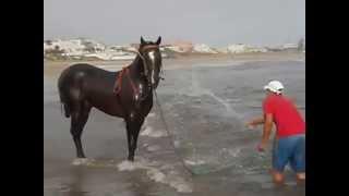chevaux sur la plage au  Maroc 2012