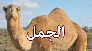 الحيوانات - الجمل