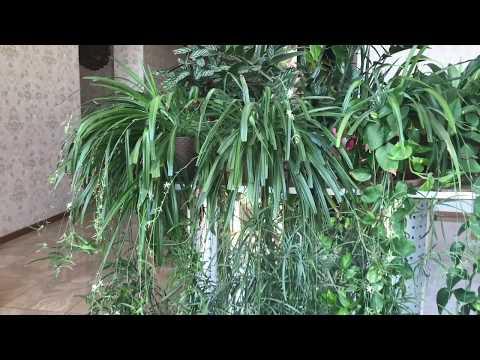 Вопрос: Почему ломаются листья у хлорофитума?