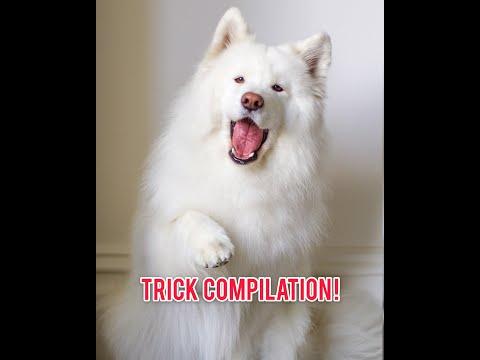 40 Doggo Tricks and Commands!