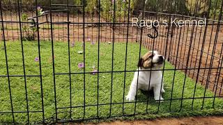 Jack Russell Terrier puppies for sale contact 9994449717 www.ragoskennel.in