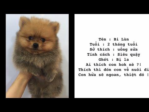 Loha Pet Shop bán chó Phốc Sóc (pomeranian) Thái Lan siêu xinh