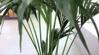 FLORES JE-MA VIDEOBLOG 5: Kentia