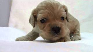 かわいいアメリカンコッカースパニエルの子犬が誕生しました! ブリーダ...