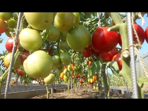 Лучшие сорта помидор - виды, описание и особенности