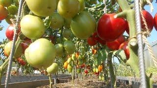 видео Выращиваем высокий урожай томатов в открытом грунте