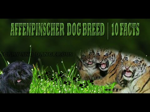 Affenpinscher Dog Breed | 10 Facts