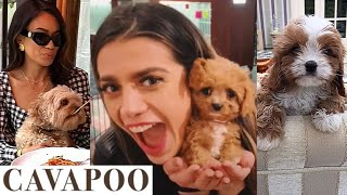 NEW Cavapoo Video Compilation (CUTE & FUNNY Moments)   Poodle / Cavalier King Charles Spaniel