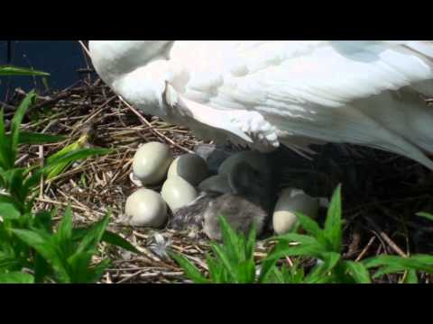 Swan's nest with eggs and birth of cygnets