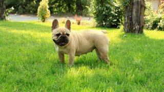 🐕Французкий бульдог🐕-всё о породе собак| Информация о Породе❤️