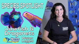 How to Keep Dragonets and Jawfish: Species Spotlight with Hilary