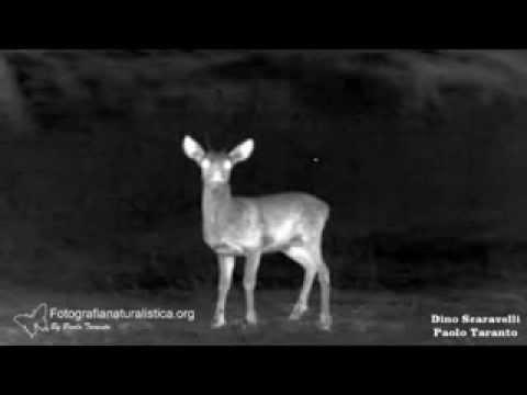 Differenze termiche nei palchi di Capriolo, Cervo e Daino   Wildlife Thermal Imaging