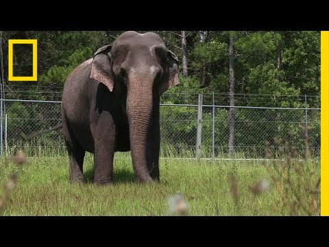 When Ringling Bros. Retires Its Elephants, This is Where They Live   National Geographic