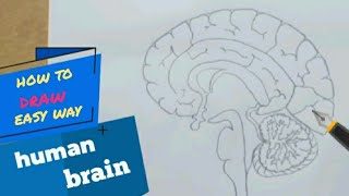 How to draw huṁan brain step by step /easy way for beginners !