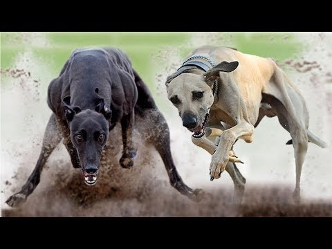 Indian Caravan Hound vs Rampur Greyhound (Breed Info. and Comparison)
