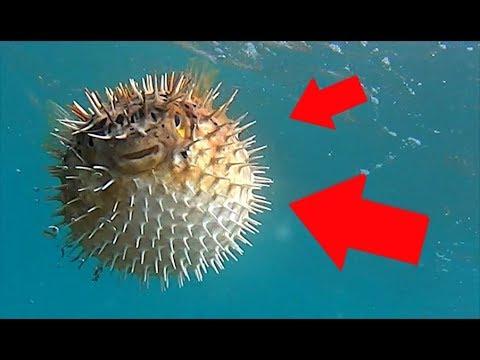 Blowfish the most dangerous fish in the world ! - GoPro HERO6 Black