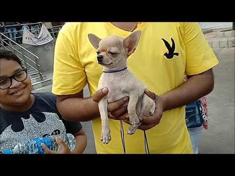 World Smallest Dog Cute CHIHUAHUA Now At Kolkata