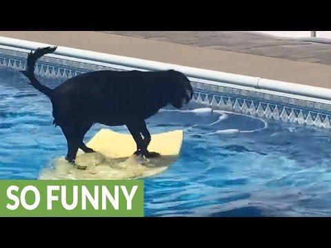 Dog balances on bodyboard to fetch ball in pool