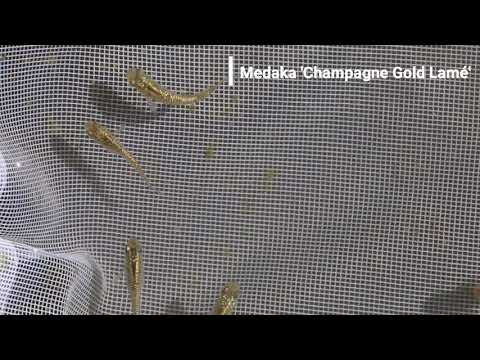 Medaka (Oryzias Latipes) - Japanese Rice Fish - 'Champagne Gold Lamé'