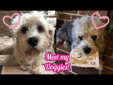 Meet My Doggos! Dandie Dinmont Terriers!