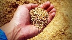 Riisissä on myrkkyä - Kehonrakentajat pulassa