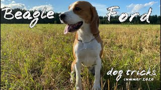 BEAGLE FORD | 1,3 YEARS | DOG TRICKS | SUMMER 2020 | ~ the summer is magic~