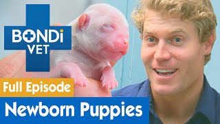 🐶 Delivering Newborn Maltese Puppies | FULL EPISODE | E01 | Bondi Vet