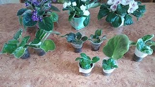 Размножение фиалок черенками и пасынками//Укоренение в земле и в вермикулите.