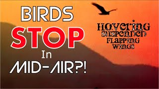 BIRDS Stopped HOVERING in Mid Air?! Suspended Flapping Wings NOT Moving Forward-WHY? Mandela Effect?