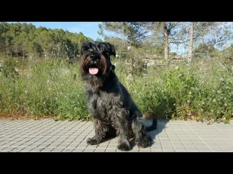 Standard Schnauzer, Jazz, these 4 years have been a blast having you at my side