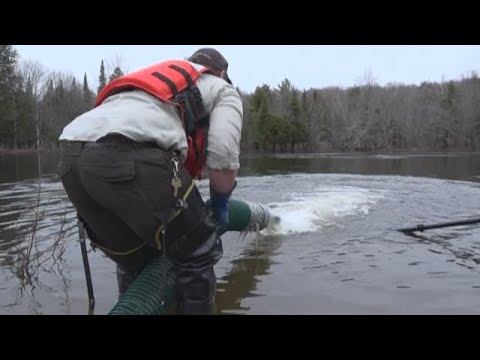 Salmon Stocking In Northern Maine
