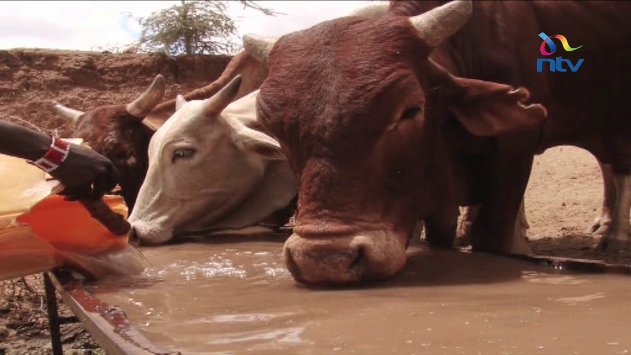 Kajiado county herders losing livestock to drought